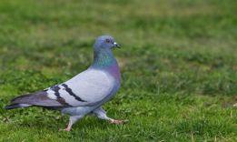 8 причин, почему голуби кивают головой при ходьбе