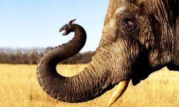 4 исследования, почему слоны боятся мышей