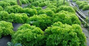 biznes-ideya-vyirashhivanie-zeleni
