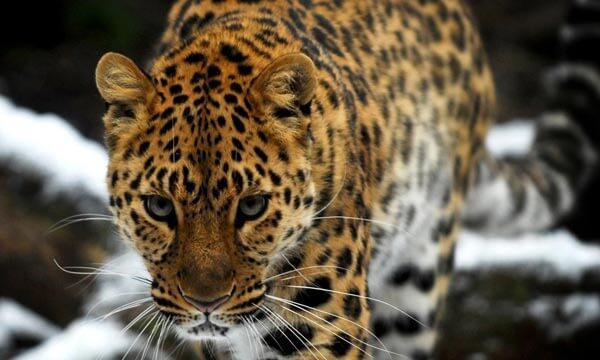 amurskij-dalnevostochnyj-leopard