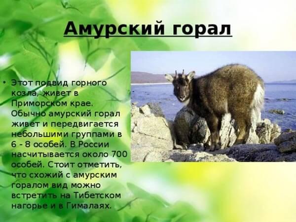 amurskij-goral