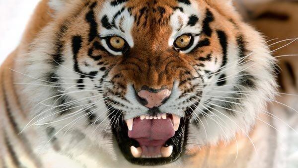 amurskij-tigr