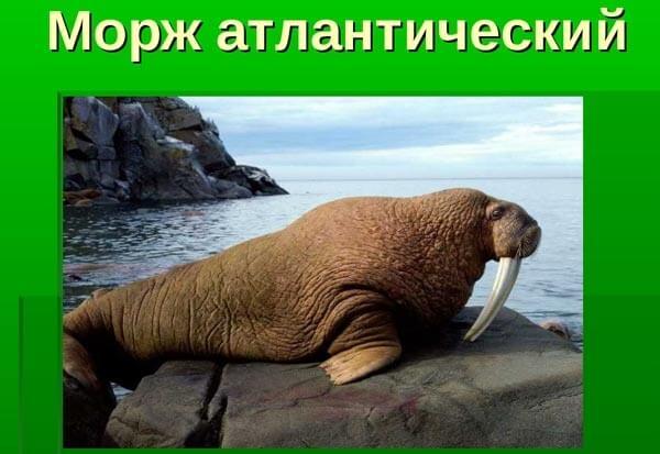 atlanticheskij-morzh
