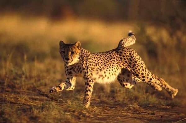 aziatskij-gepard