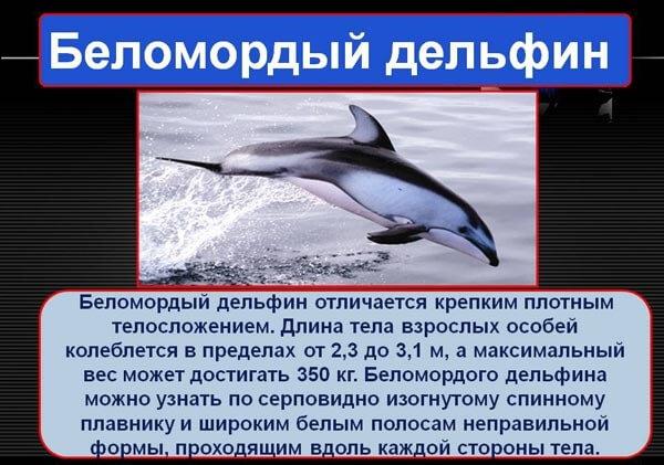 belomordyj-delfin
