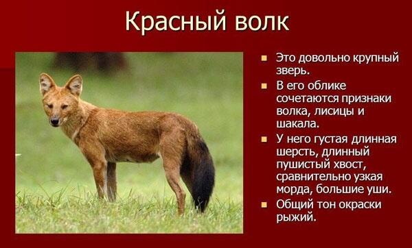 krasnyj-gornyj-volk