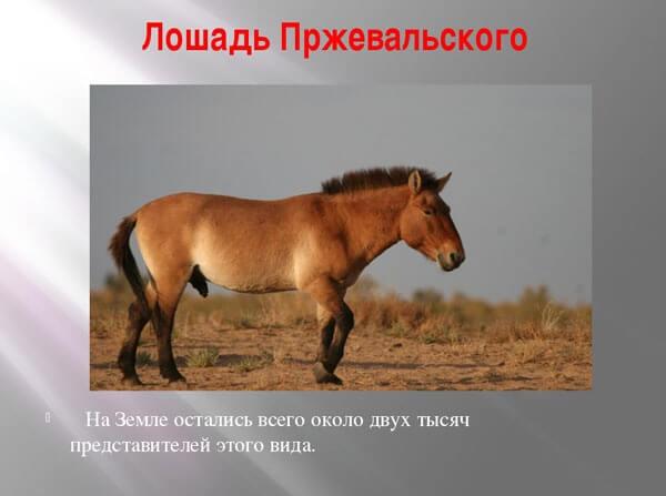 loshad-przhevalskogo