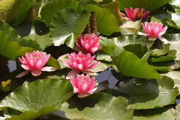 lotos-orehonosnyj