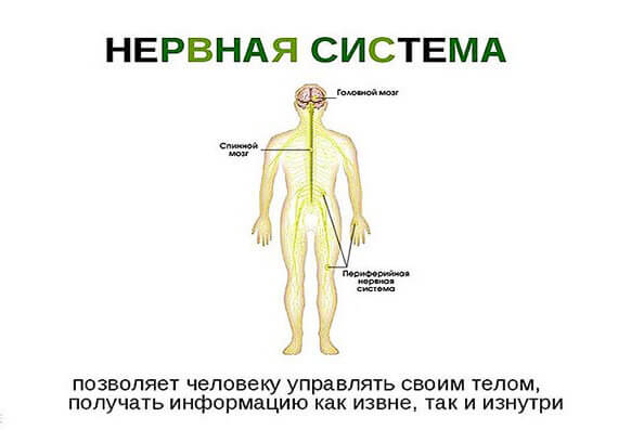 stroenie-nervnoj-sistemy