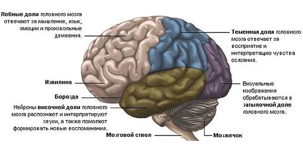 ustrojstvo-mozga