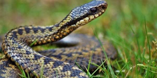 Змея.