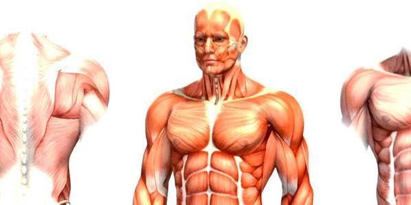 мышц в человеческом теле