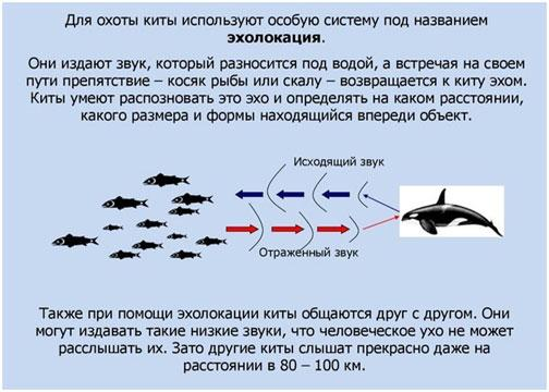 ohota-kitov