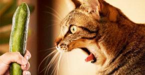 pochemu-koty-bojatsja-ogurcov