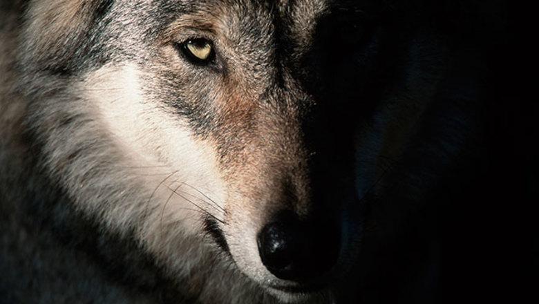 krasivyj-volk