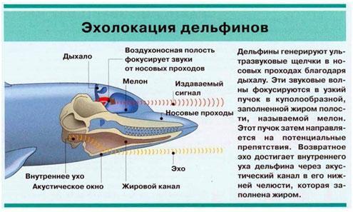jeholokacija-delfina