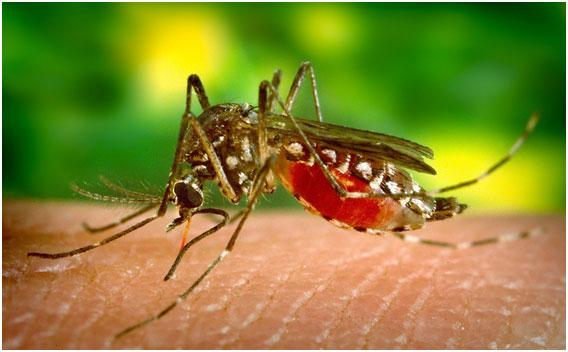 komar-kusaet-cheloveka