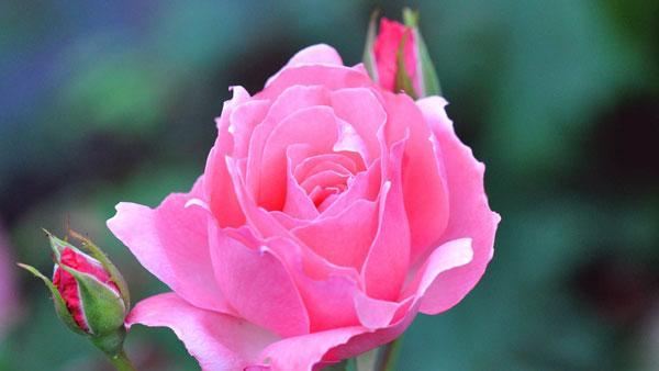 krasivaja-roza