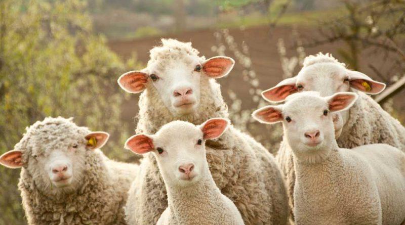 ovcy-smotrjat