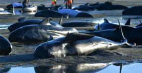 pochemu-delfiny-vybrasyvajutsja-na-bereg