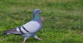 pochemu-golubi-kivajut-golovoj-pri-hodbe