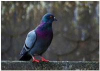 sinij-golub