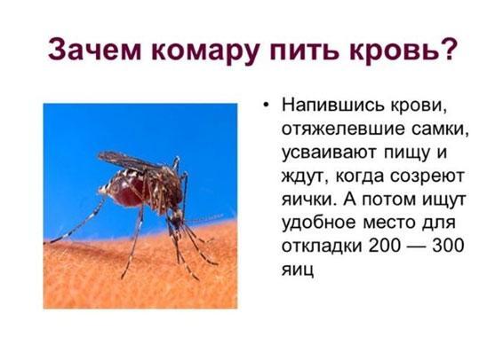 zachem-komaru-pit-krov