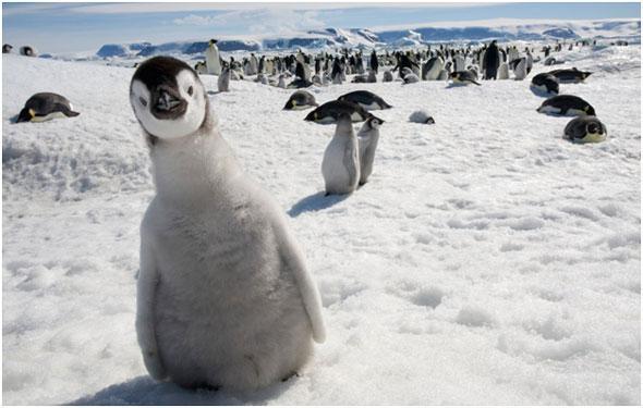 kak-zhivut-pingviny