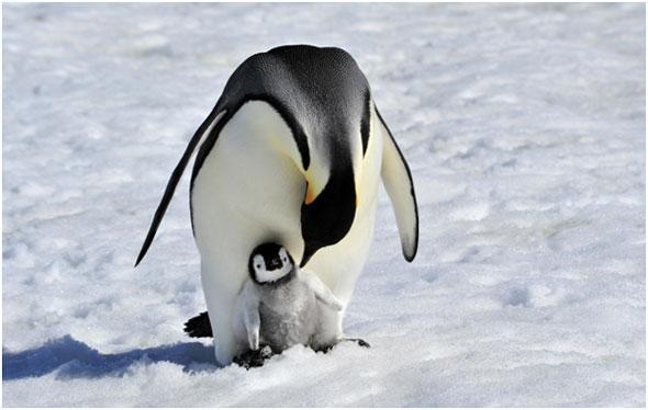 pingviny-na-snegu
