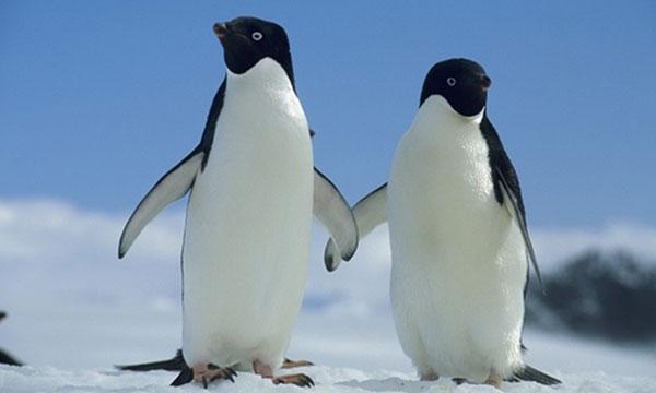 pochemu-pingviny-ne-letajut