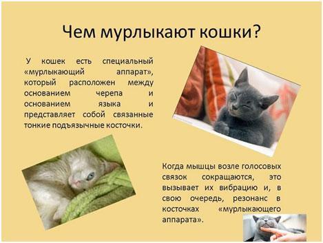 chem-koshki-murlykajut